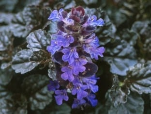 Ajuga Black Scallop (PP15815)