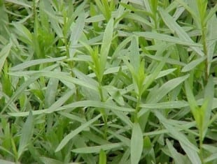 Artemisia dracunculus (French Tarragon)