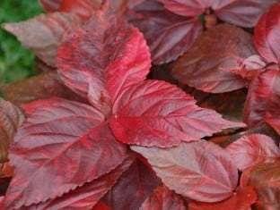Acalypha wilkesiana Bronze Pink