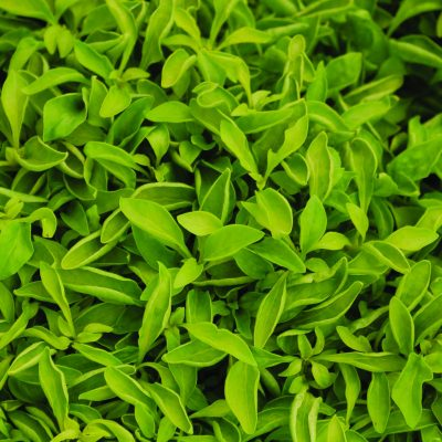 Alternanthera Yellow