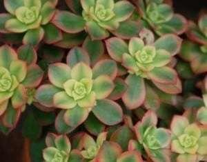 Aeonium haworthii Kiwi