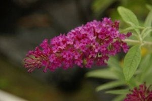 Buddleja davidii Buzz Magenta Improved