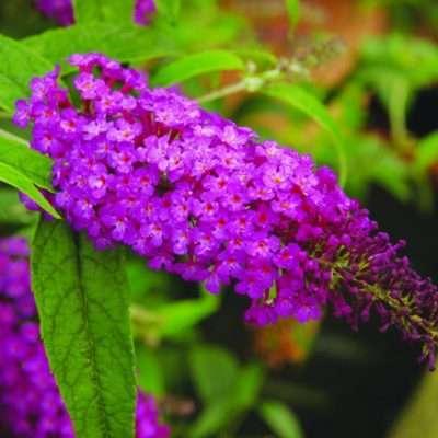 Buddleja davidii Buzz Purple