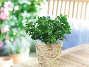 Crassula Ovata minor (Baby Jade)