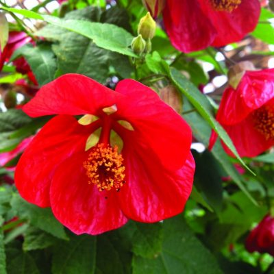 Abutilon hybrida Lucky Lantern Red PPAF
