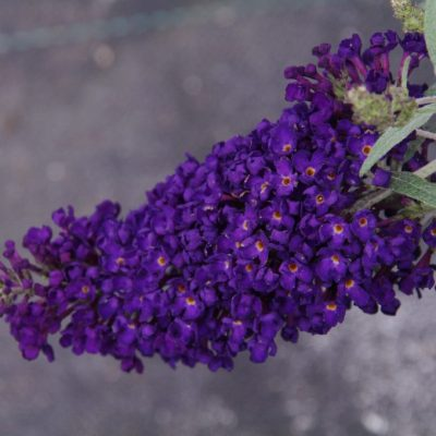 Buddleja davidii Buzz Midnight