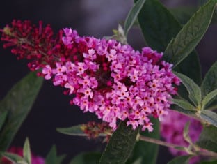 Buddleja davidii Buzz Soft Pink